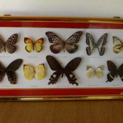 Tableau de papillons naturalisés