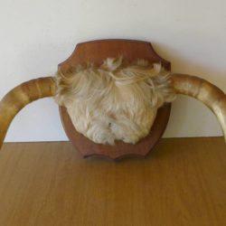 trophée cornes de vache